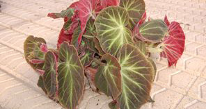 Begonia